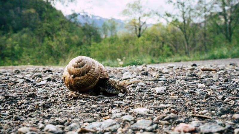 Le grand escargot dans la coquille rampant sur la route, le jour d'?t? dans une for?t, s'?lever d'escargot, l'escargot de terre o images libres de droits