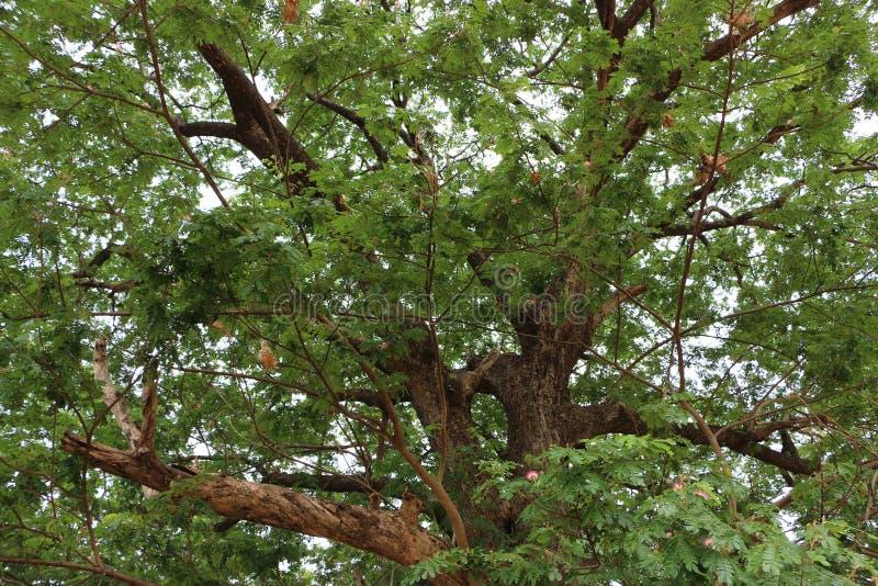 Le grand et vieil arbre photographie stock