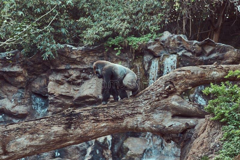 Le grand gorille masculin avec le silverback marche sur un arbre tombé au-dessus d'un abîme plus de dans le zoo national images libres de droits
