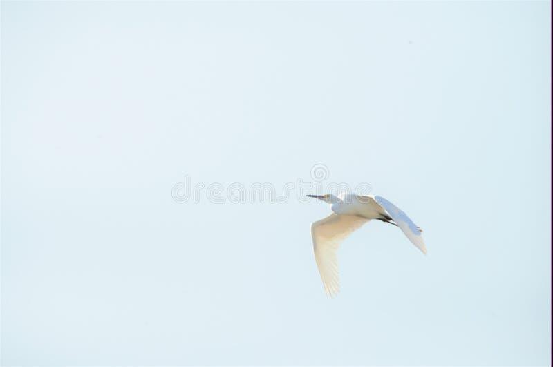 Le grand héron glisse en haut sur sa recherche de l'atterrissage sûr et de la nourriture images stock