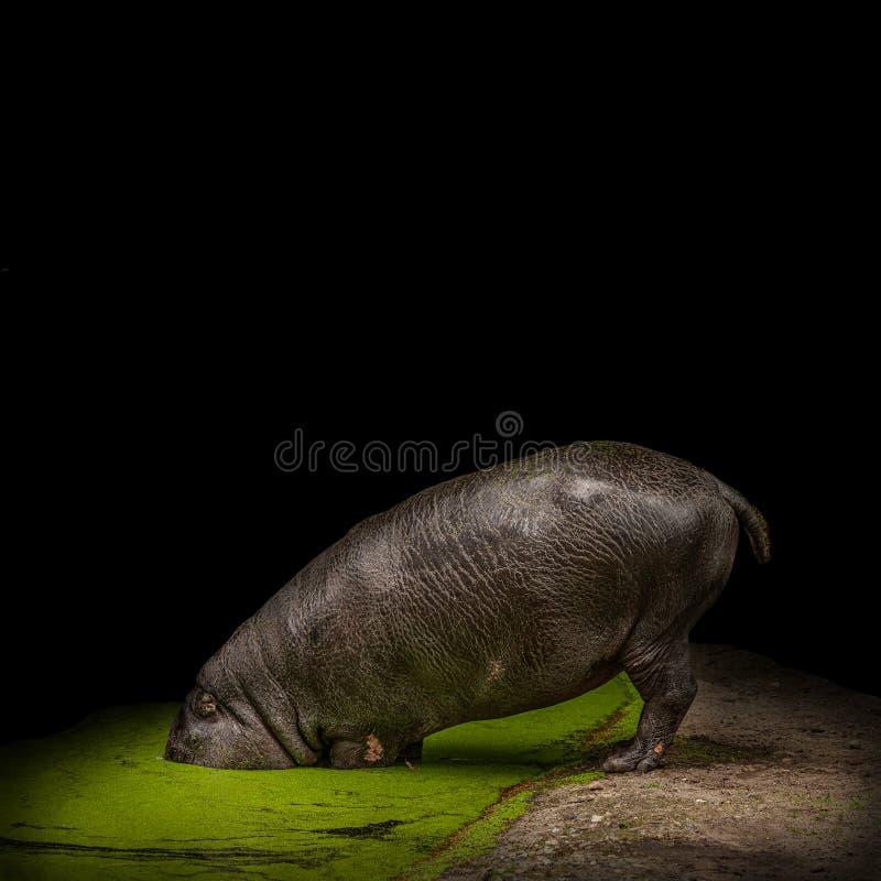 Le grand hippopotame adulte cache sa tête des problèmes dans un étang au fond noir photo stock