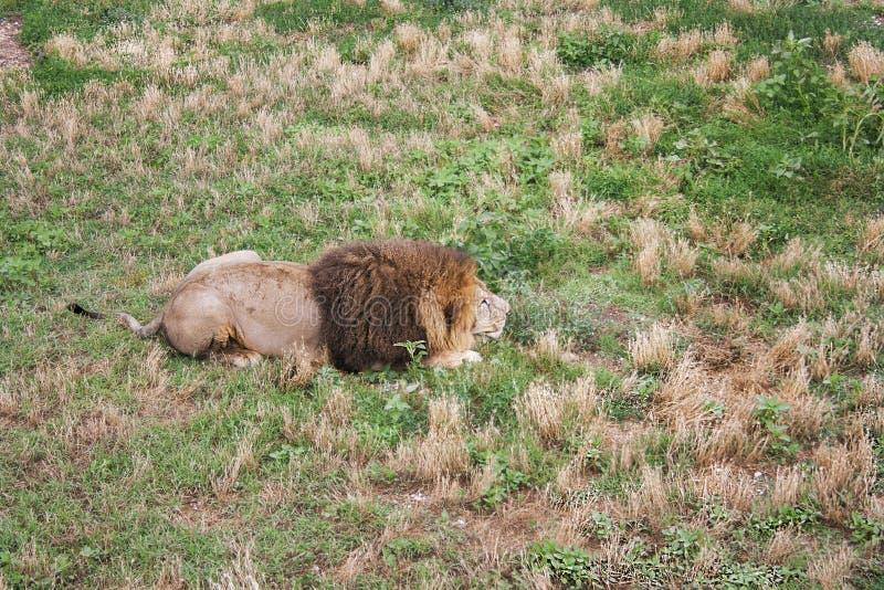 Le grand mâle de lion s'est déguisé et prêt à attaquer photos libres de droits