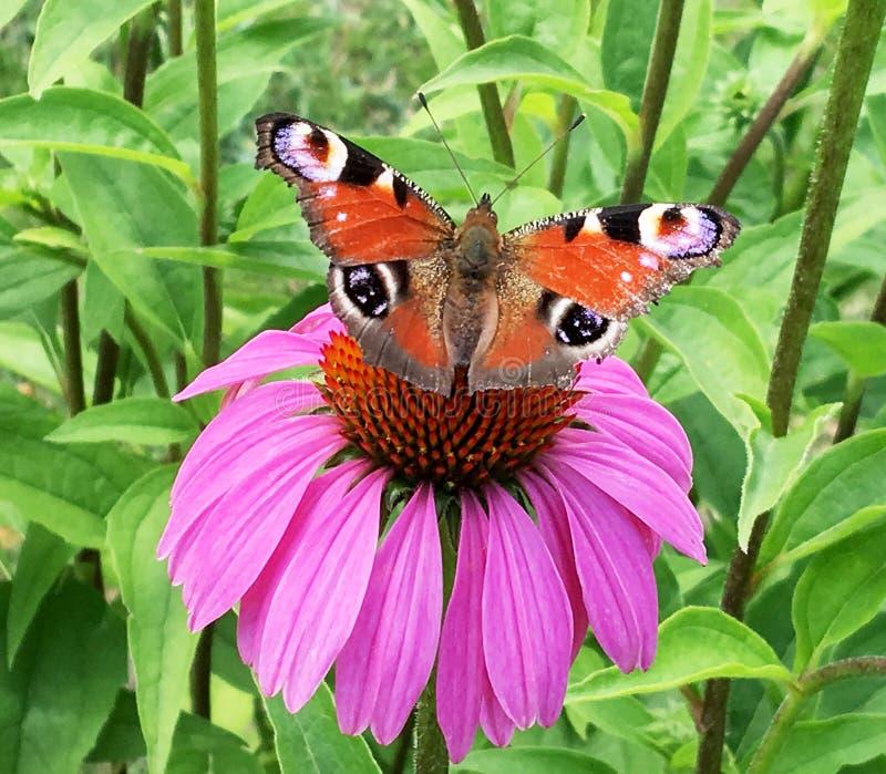 Le grand monarque noir de papillon marche sur l'usine avec des fleurs photos stock