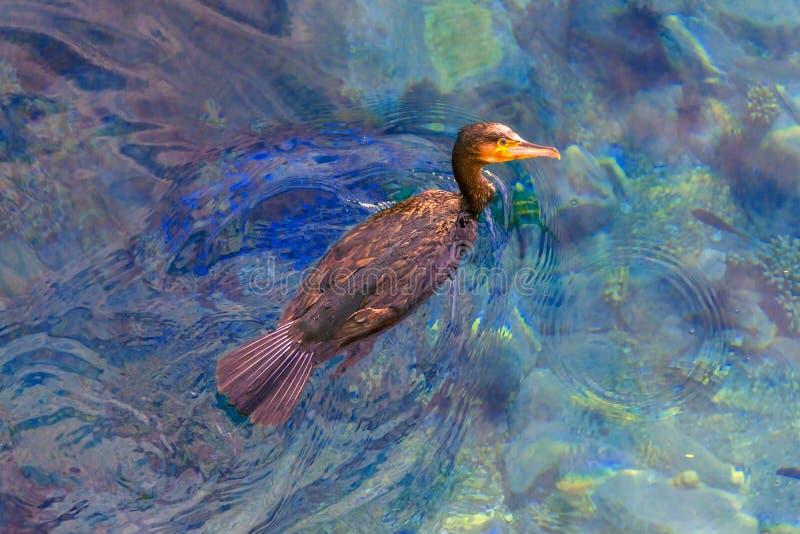 Le grand oiseau de prédateur de mer images libres de droits