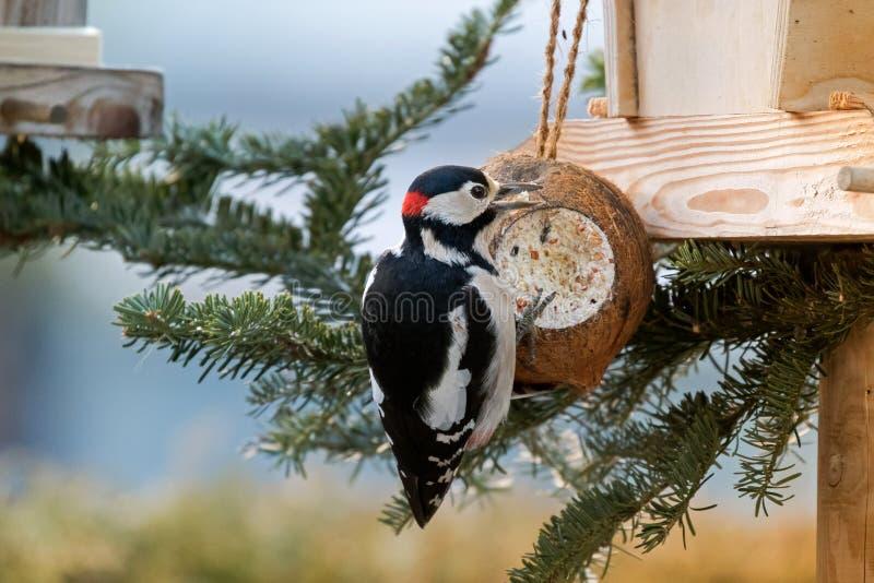 Le grand oiseau repéré de pivert mangeant de la nourriture de la coquille de noix de coco poursuivent photos libres de droits