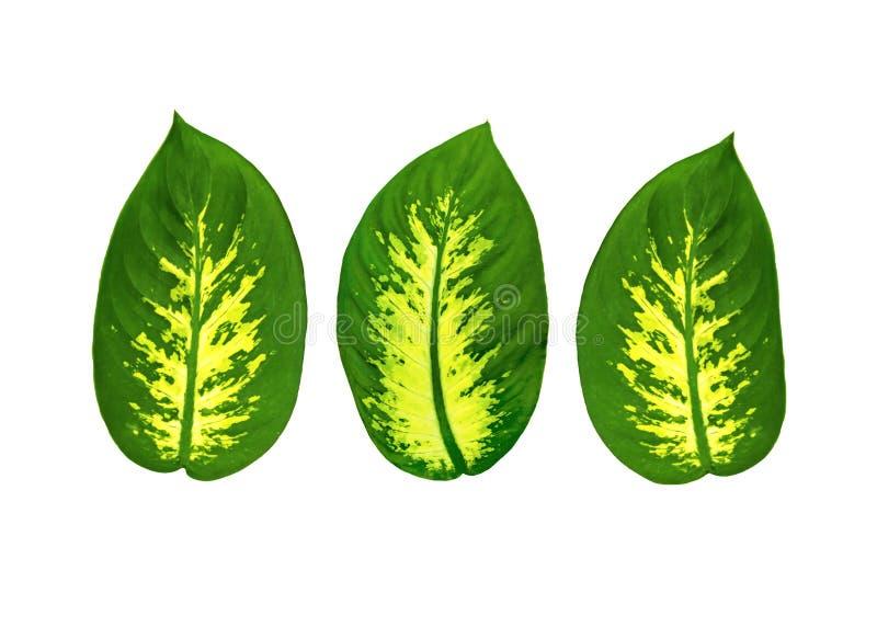 Le grand ovale part d'un Dieffenbachia de plante tropicale d'isolement sur le fond blanc Groupe d'objets pour la conception image libre de droits