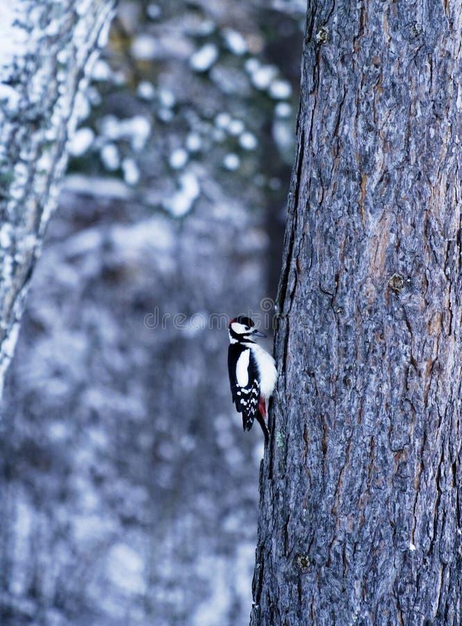 Le grand pivert repéré Dendrocopos principal est un pivert moyen avec le plumage noir et blanc pie et un rouge photo stock