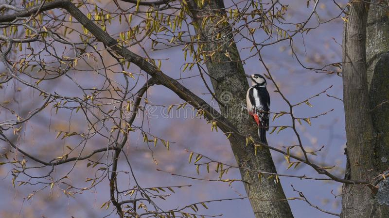 Le grand pivert repéré s'est étendu sur une branche d'arbre photo libre de droits