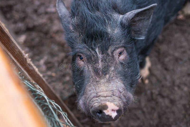 Le grand porc noir regarde le cadre photos stock