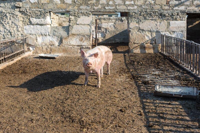 Le grand porc rose marche dans le pré Exploitation d'?levage photo stock
