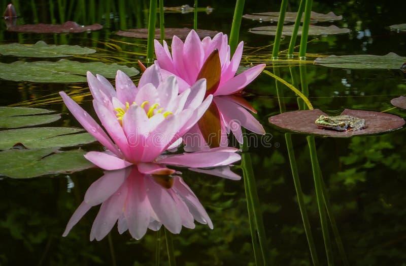 Le grand ridibunda de Rana de grenouille se repose sur la feuille et regarde à deux nénuphars ou fleurs de lotus roses Marliacea  photos libres de droits