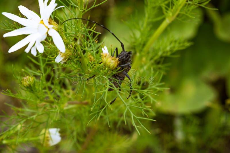 Le grand scarabée de Capricorne se repose sur un plan rapproché de marguerite image libre de droits