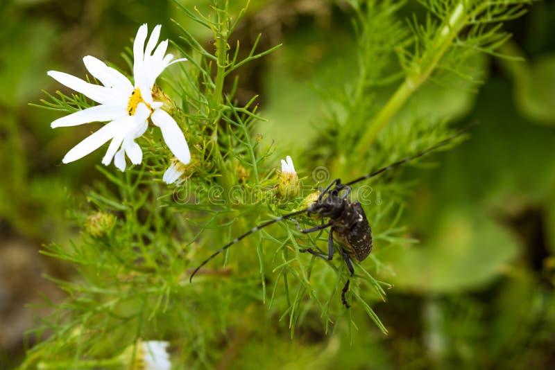 Le grand scarabée de Capricorne se repose sur un plan rapproché de marguerite photographie stock libre de droits