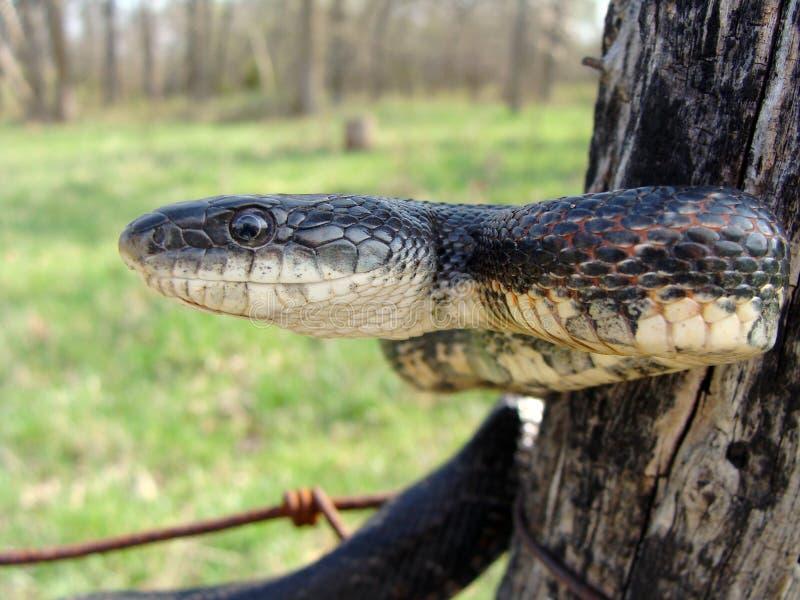 Le grand serpent noir a appelé un serpent de rat noir photographie stock