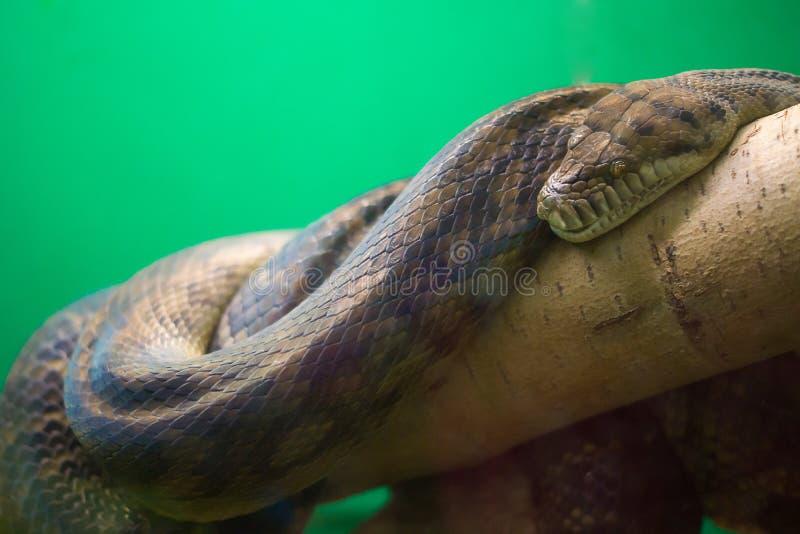 Le grand serpent se trouve sur un arbre photographie stock