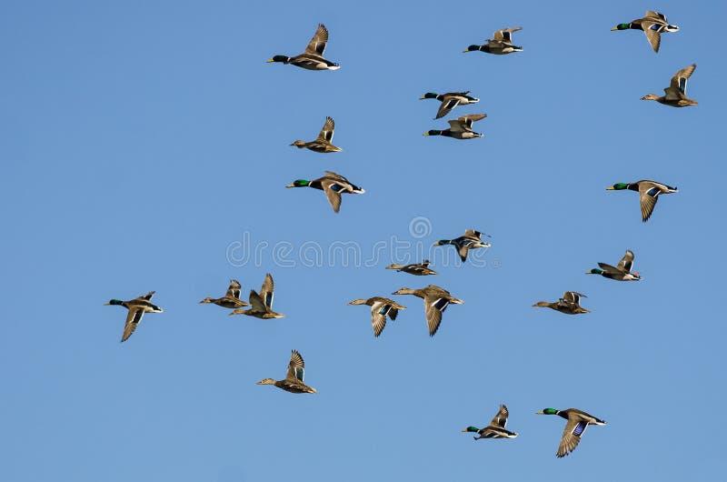Le grand troupeau de Mallard penche le vol dans un ciel bleu photographie stock libre de droits