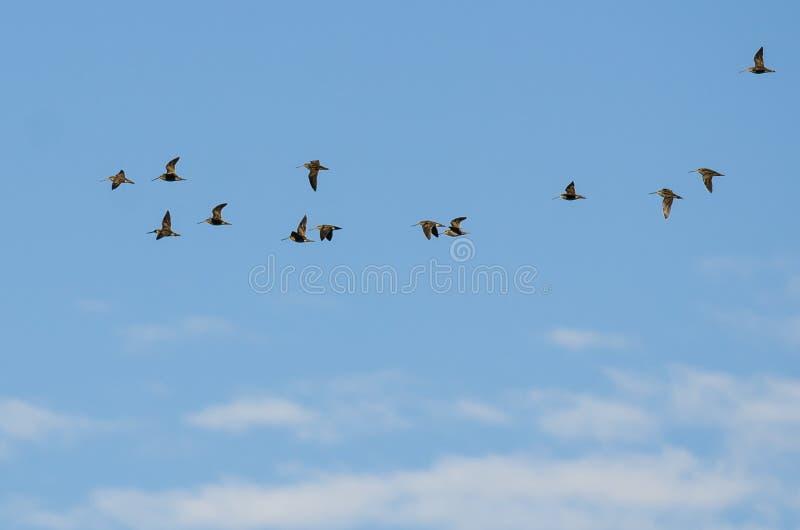 Le grand troupeau du ` s de Wilson tirent un coup de feu le vol dans un ciel bleu image libre de droits