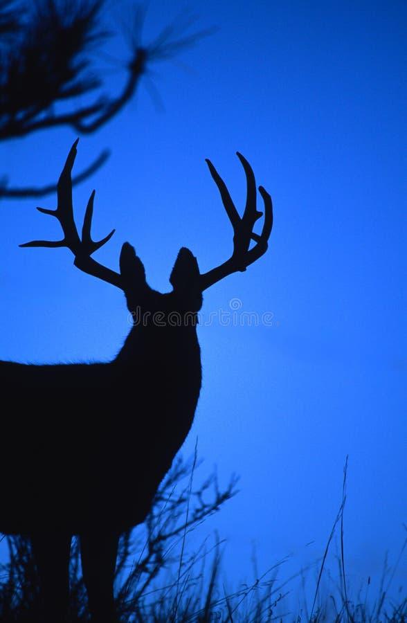 Le grand type de cerfs communs de mule a silhouetté images libres de droits