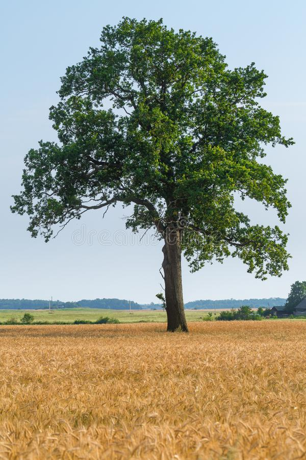 Le grand vieux seul chêne se développe isolé dans le domaine de blé Calme et tranquilité de la vie rurale Temps beau d'?t? Temps  photo libre de droits