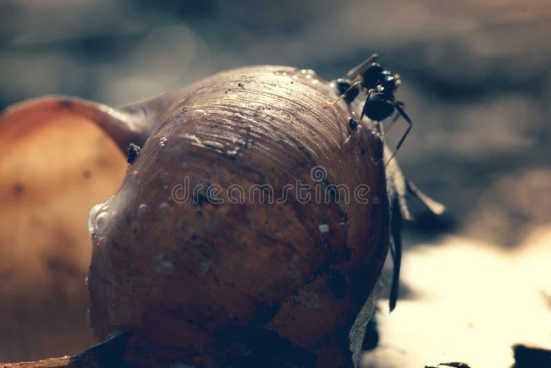 Le grandi formiche mangiano la preda dalla lumaca nella colonia, macro primo piano immagini stock libere da diritti