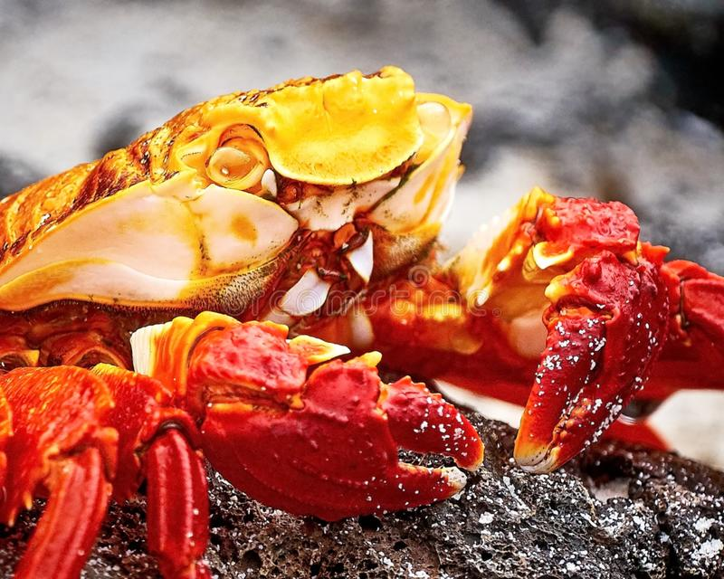 Le grapsus rouge de Grapsus de crabe en pierre est des esp?ces du crabe qui est r?pandu sur la C?te Pacifique sud-am?ricaine, y c images stock