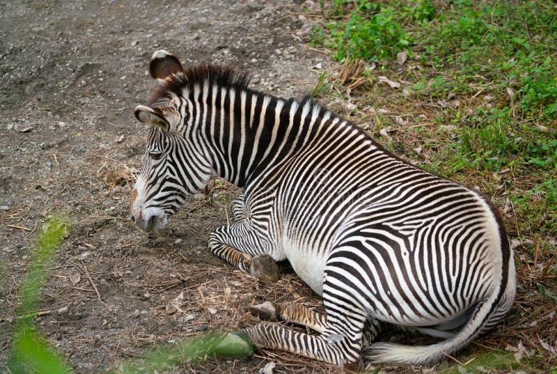 Le grevyi d'Equus de zèbre du ` s de Grevy savent également comme zèbre impérial photo stock