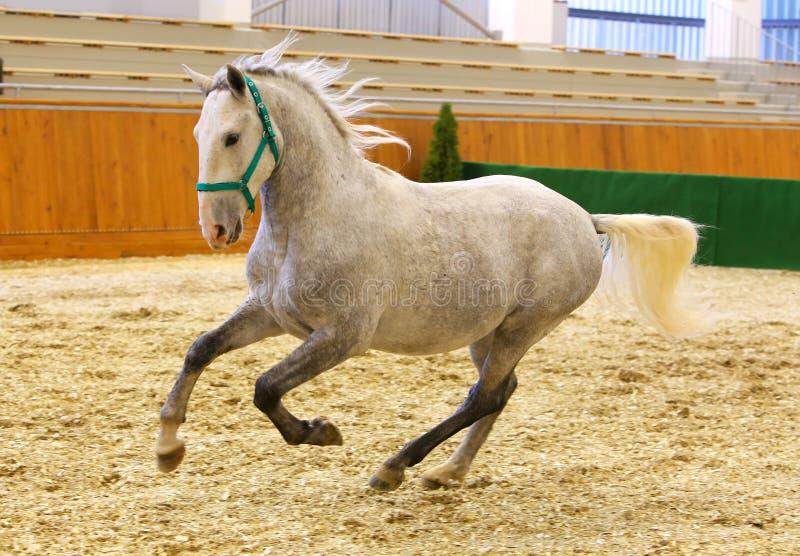 Le gris a coloré le cheval lipizzan de jeune galopant dans le hall d'équitation images stock