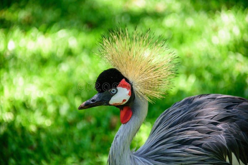 Le gris a couronné la grue sur le fond de l'herbe verte en parc national d'Iguacu photo stock