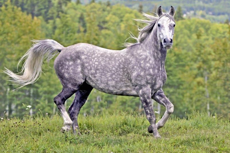 Le gris tachettent le cheval Arabe fonctionnant dans le pré photos libres de droits