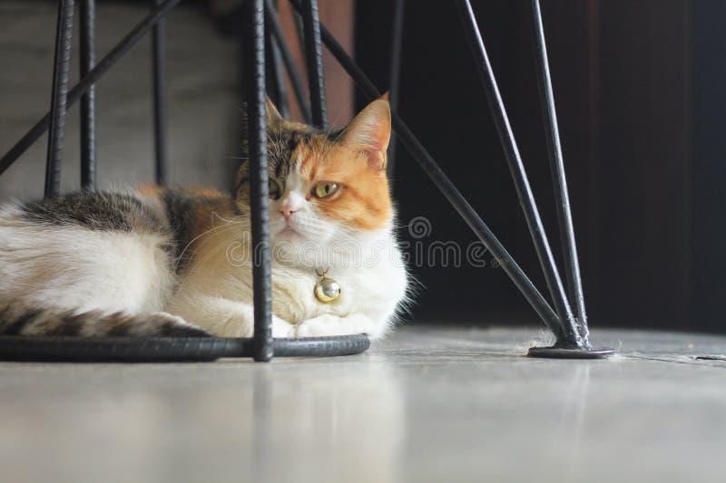Le gros chat se repose sous une chaise noire de jambe de fer photos stock