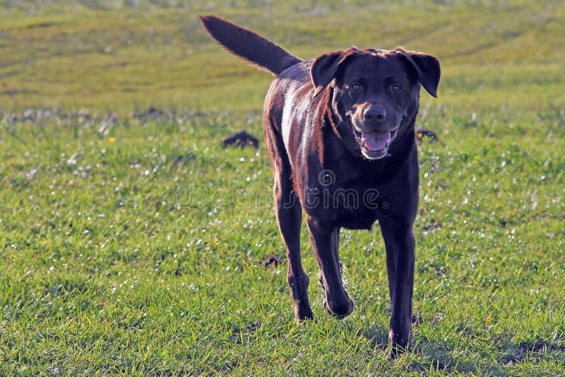 Le gros chien brun court plus de le pré images libres de droits