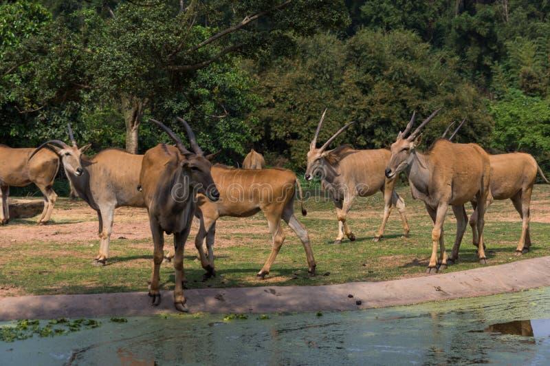 Le groupe d'antilopes marche en parc de safari photo stock