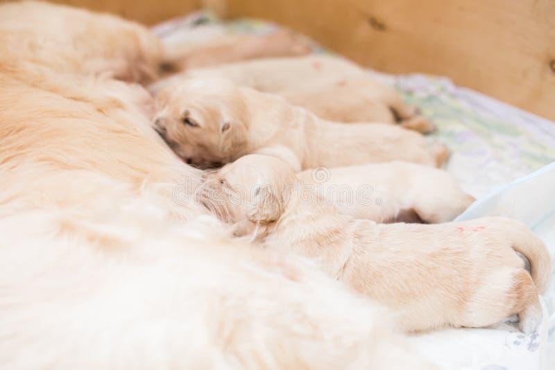 Le groupe de chiots beiges mignons de golden retriever ont le lait de leur maman photo stock