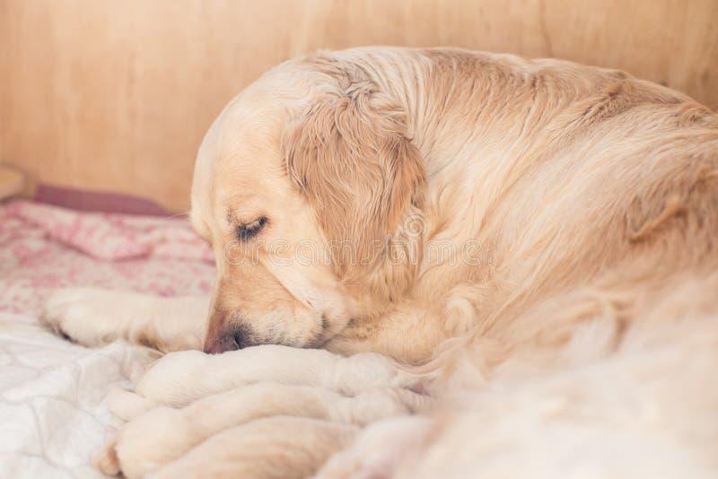 Le groupe de chiots beiges nouveau-nés mignons de golden retriever ont le lait de leur maman Le chien de maman prend soin de son  photographie stock libre de droits