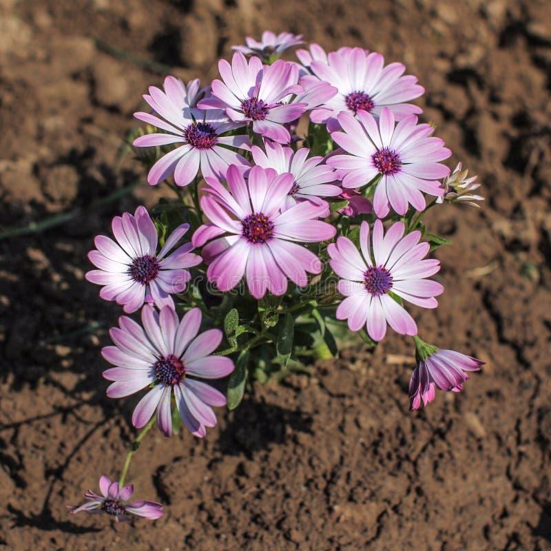 Le groupe de fleurs de rose et violettes de gerbera/marguerite des prés de marguerite se développent images libres de droits