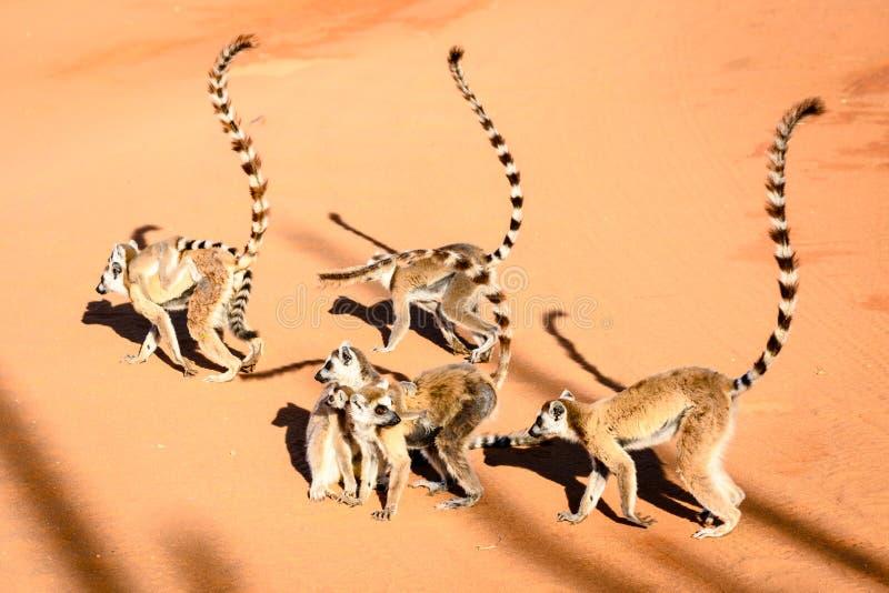 Le groupe de l'anneau a coupé la queue des lémurs par temps ensoleillé sur le sable rouge image stock