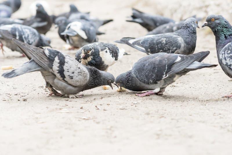 Le groupe de pigeons luttent plus de pour la nourriture image stock