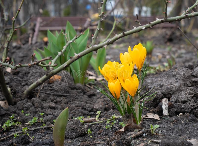 Le groupe de plan rapproch? de crocus jaune de fleurs de ressort se d?veloppent de la terre en parc images libres de droits