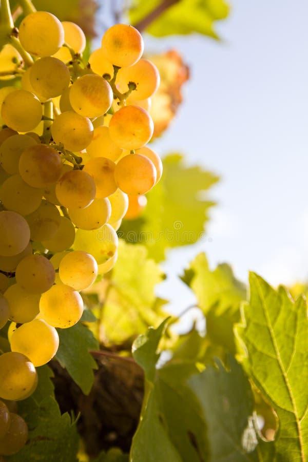 Le groupe de raisins blancs mûrs se ferment vers le haut images libres de droits