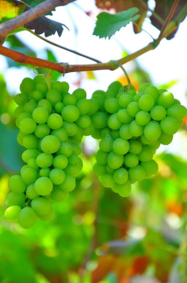 Le groupe de raisins dans le vignoble de la Virginie mûrissant comme récolte s'approche photographie stock