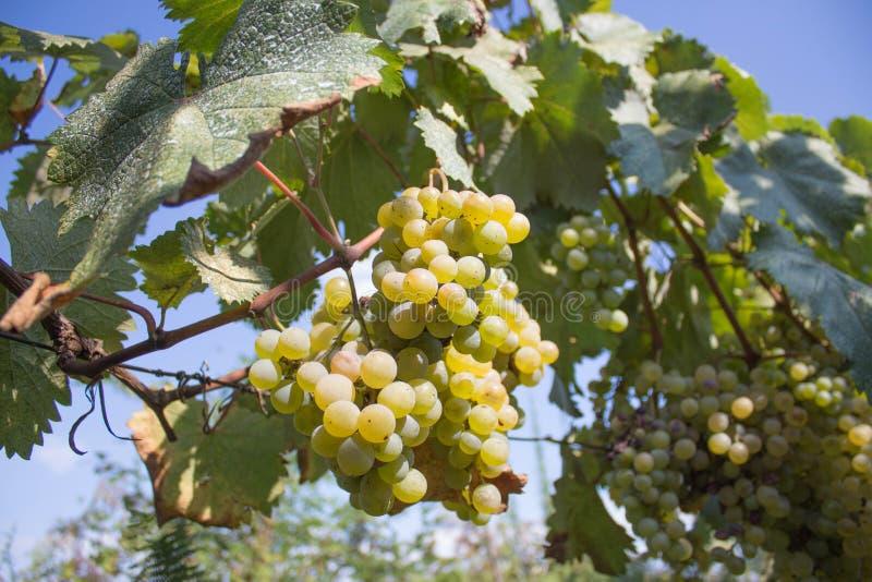 Le groupe de raisins de vin rouge pendent d'une vigne, chaude Raisins mûrs avec les feuilles vertes Fond de nature avec le vignob image stock
