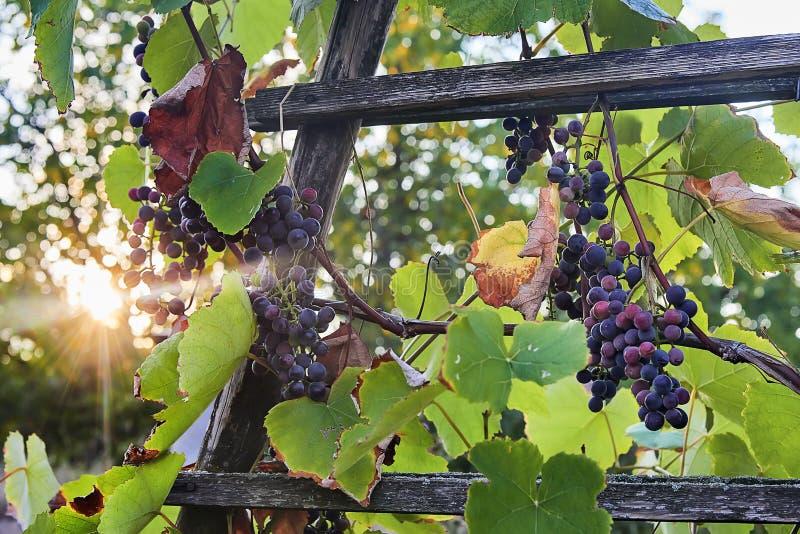 Le groupe de raisins de vin rouge presque prêts pour la récolte est sur un buisson avec l'appui vertical en bois au coucher du so image libre de droits