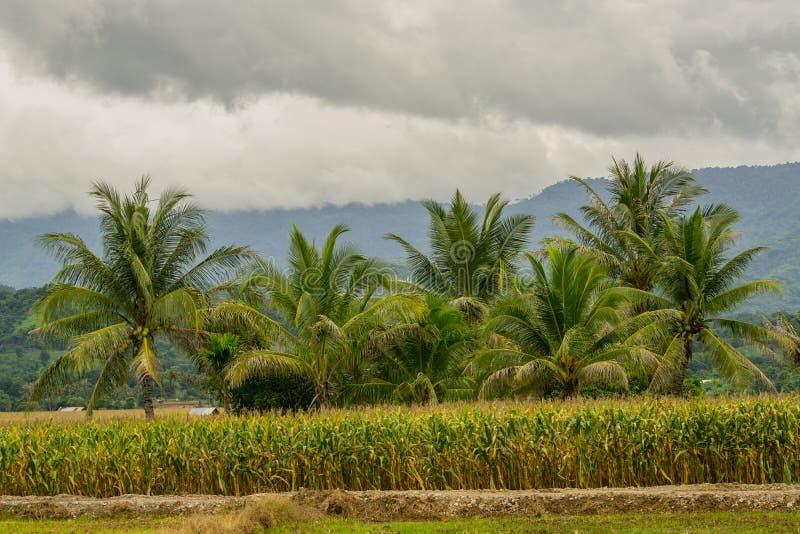 Le groupe vert de noix de coco est au centre du champ de maïs photographie stock libre de droits