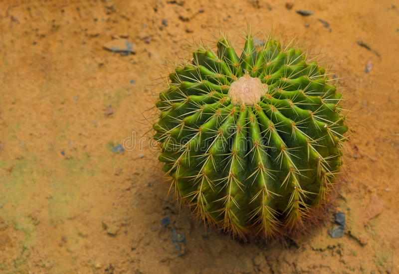 Le grusonii d'Echinocactus se développent sur le sable image stock