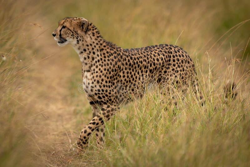 Le guépard croise le chemin par l'herbe sur la savane photographie stock
