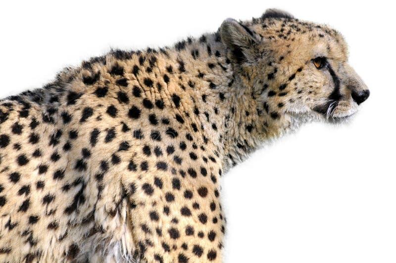 le guépard a isolé la verticale image libre de droits
