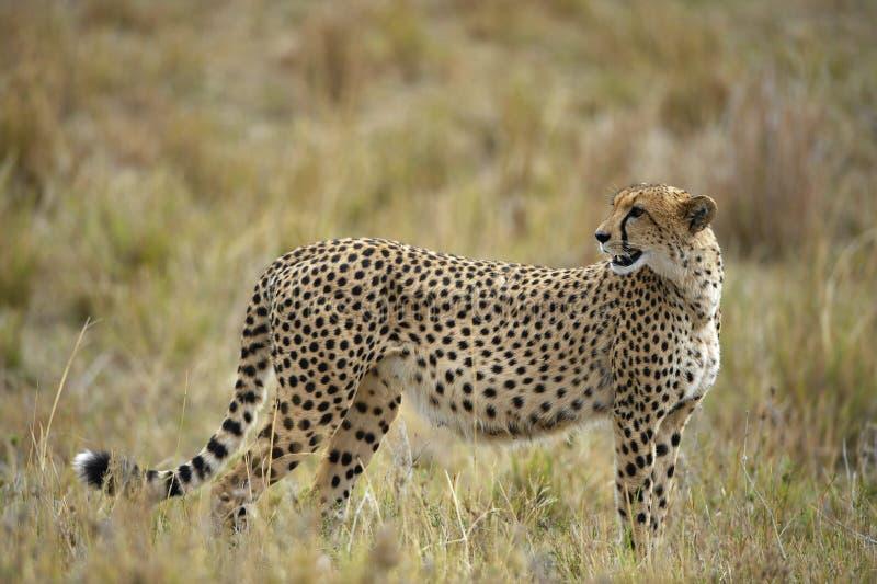 Le guépard (jubatus d'Acinonyx) images stock