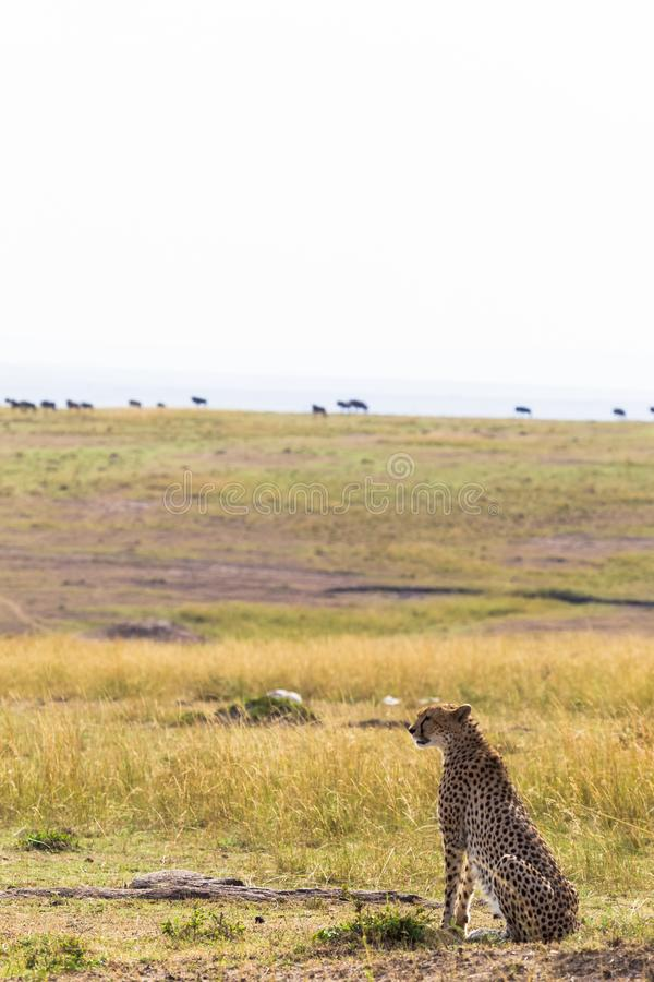 Le guépard observe la savane Simple du masai Mara, Kenya image stock