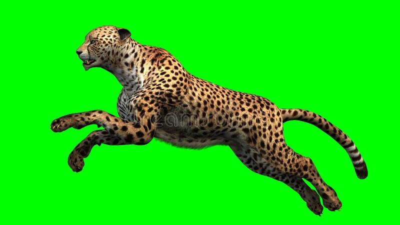 Le guépard sautant dans l'avant sur un fond vert photos libres de droits