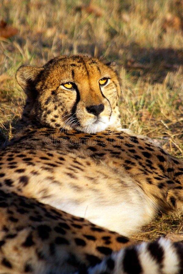 Le guépard a un reste images stock